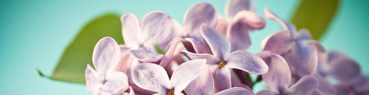 lilac-long